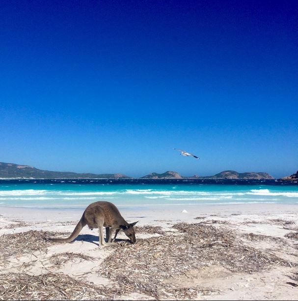 Lucky-bay-kangaroos