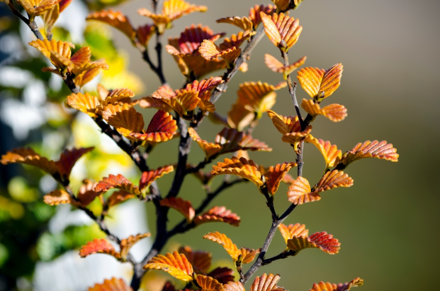 Turning-of-fagus-tasmania
