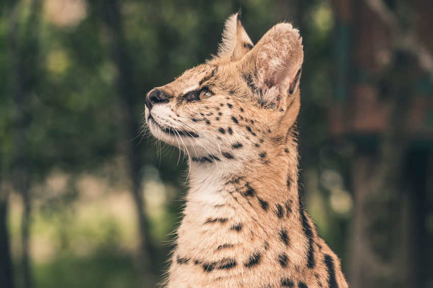 The serval have settled into their new home since their arrival in March earlier this year.