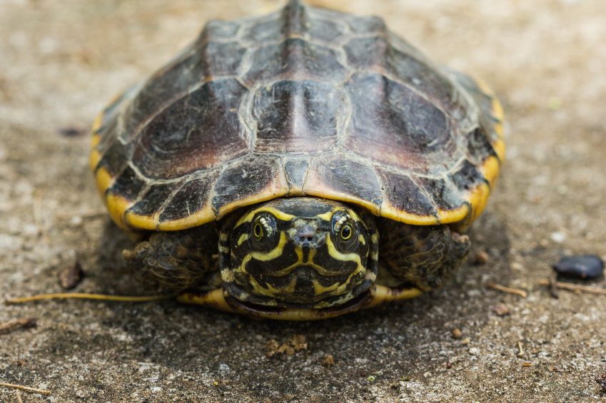 Close up of Malayan snail-eating turtle or rice field terrapin
